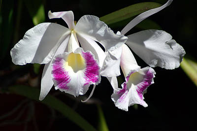 Vermeer Rights Managed Images - White Orchids Royalty-Free Image by Susanne Van Hulst