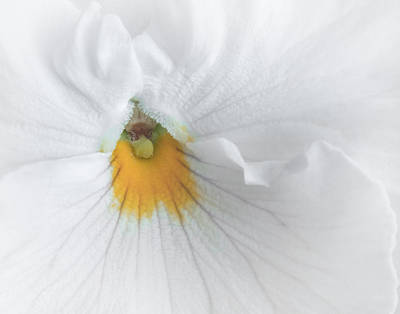 Photograph - White Pansy by David and Carol Kelly
