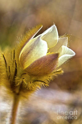 Pasque Flower Photograph - White Pasqueflower by Heiko Koehrer-Wagner