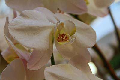 Photograph - White Peabody Orchid II by Michiale Schneider