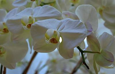 Photograph - White Peabody Orchid IIi by Michiale Schneider