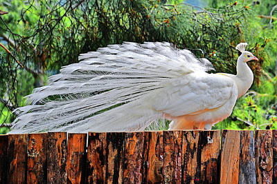 White Peacock. Original
