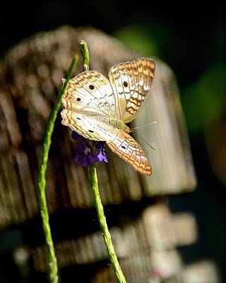 Photograph - White Peacock Butterfly by Carol Bradley