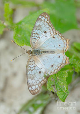 Photograph - White Peacock Butterfly by Cheryl Baxter