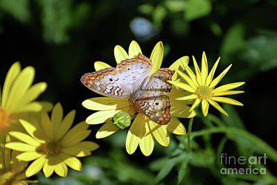 Photograph - White Peacock Butterfly I by Denise Bruchman