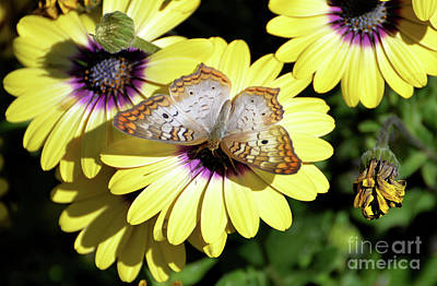 Photograph - White Peacock Butterfly II by Denise Bruchman