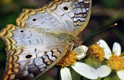 Photograph - White Peacock Butterfly by Larah McElroy