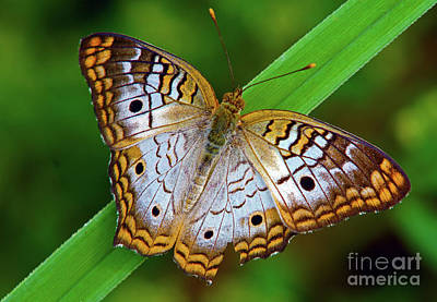 Photograph - White Peacock Butterfly by Larry Nieland