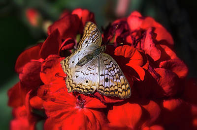 Photograph - White Peacock Butterfly On Red Flowers  by Saija Lehtonen