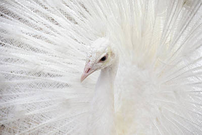 Photograph - White Peacock Closeup by Peggy Collins