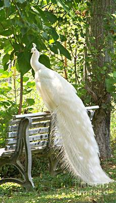 Photograph - White Peacock by Jean Fry