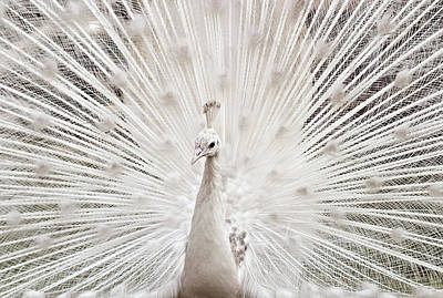 Pakistan Photograph - White Peacock, Lahore by pharan Tanveer