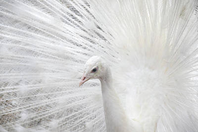 Photograph - White Peacock by Peggy Collins