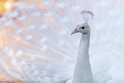Art Print featuring the photograph White Peacock by Sebastian Musial