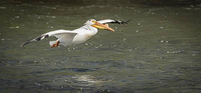 White Pelican 1-2015 Art Print