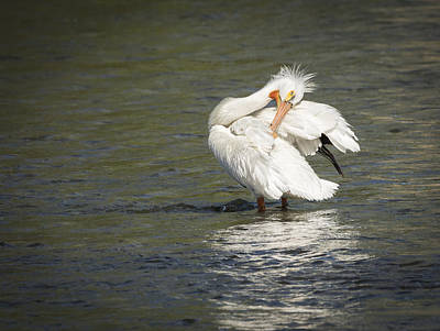 White Pelican 3-2015 Art Print by Thomas Young