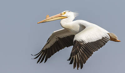 Fox River Photograph - White Pelican 5-2015 by Thomas Young