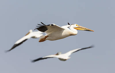 Flock Of Flying White Pelicans Photograph - White Pelican 6-2015 by Thomas Young