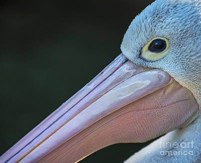 White Pelican Close Up Art Print by Avalon Fine Art Photography