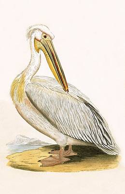 Pelican Drawing - White Pelican by English School