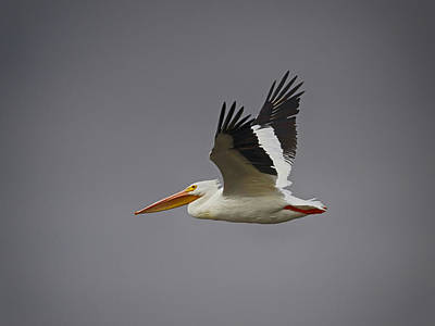Photograph - White Pelican Flying by Charles McKelroy