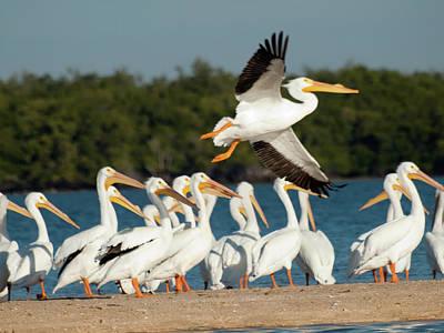 White Pelican In Flight Art Print by Diane Luke