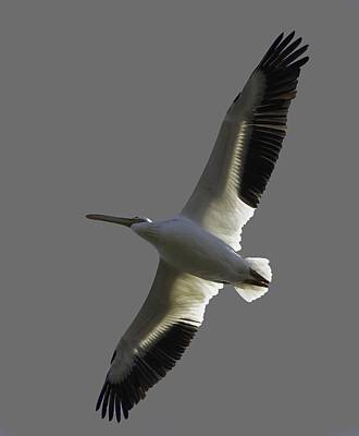 Photograph - White Pelican In Flight Transparency by Richard Goldman