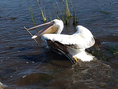 White Pelican In The Marsh Art Print by Bill Perry