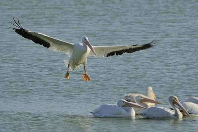 Pelican Photograph - White Pelican Landing by Bradford Martin