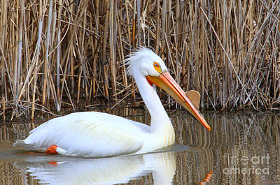 Photograph - White Pelican by Marty Fancy
