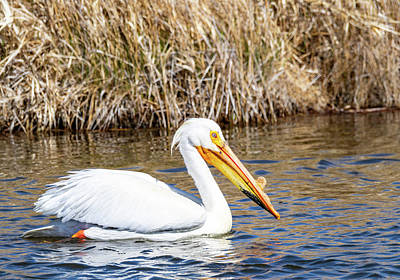 Photograph - White Pelican by Michael Chatt