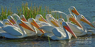 Photograph - White Pelican Sun Party by Larry Nieland