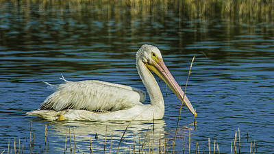 Photograph - White Pelican by Paula Porterfield-Izzo