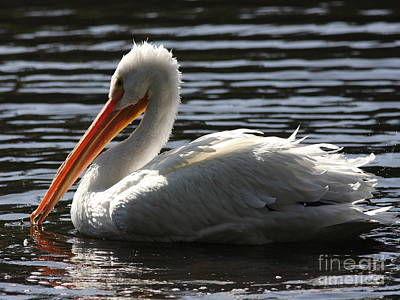 Photograph - White Pelican . Ripple Waters by Wingsdomain Art and Photography