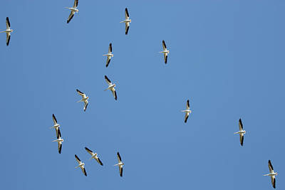 Photograph - White Pelican Season by Richard Goldman