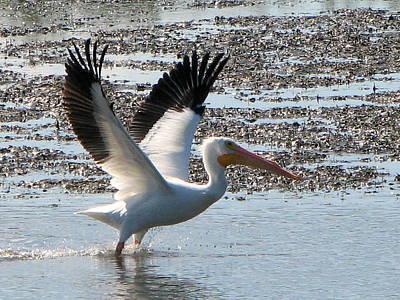 White Pelican Takes Wing Art Print