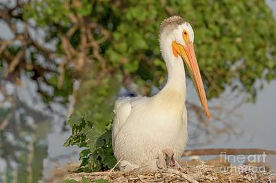 Nikki Vig Royalty-Free and Rights-Managed Images - White Pelican With Young by Nikki Vig