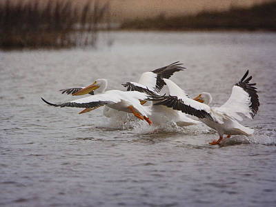 Photograph - White Pelicans by Charles McKelroy