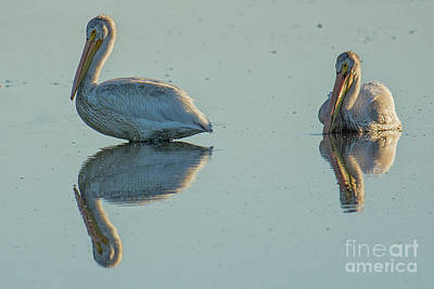 Photograph - White Pelicans by Craig Leaper