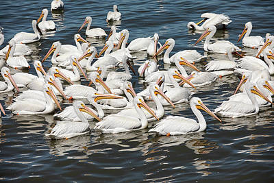 Photograph - White Pelicans by Eunice Gibb