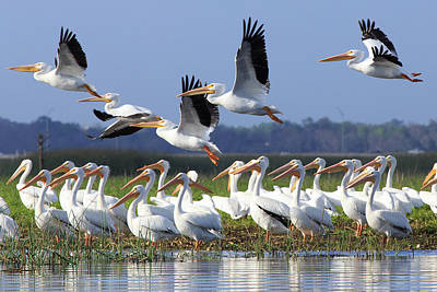Photograph - White Pelicans In Central Florida by Stefan Mazzola