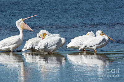 Photograph - White Pelicans by John Greco