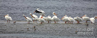 Photograph - White Pelicans Panorama by Carol Groenen