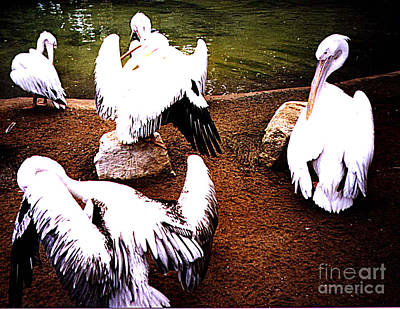 Photograph - White Pelicans Preening  by Merton Allen