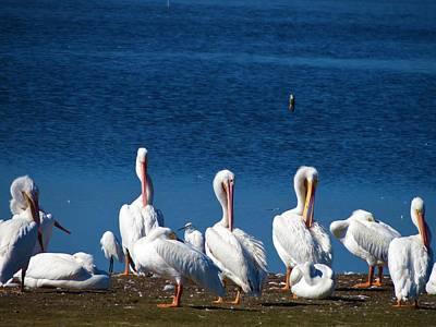 Photograph - White Pelicans by Vijay Sharon Govender