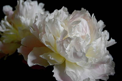 White Peonies Art Print by David Rothmiller