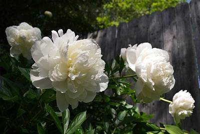 Photograph - White Peonies With Fence by Michelle Calkins