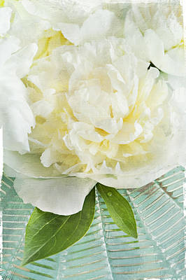 Photograph - White Peony 2 by Jill Love