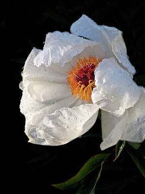 Photograph - White Peony After The Rain by Gill Billington