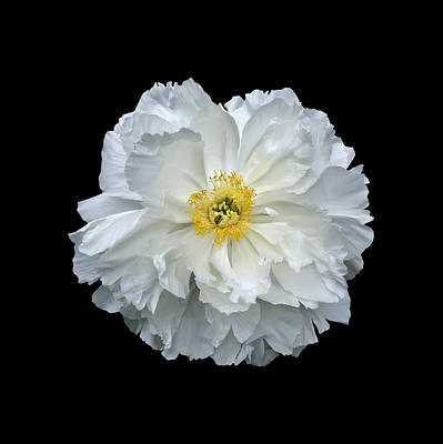 Photograph - White Peony by Charles Harden